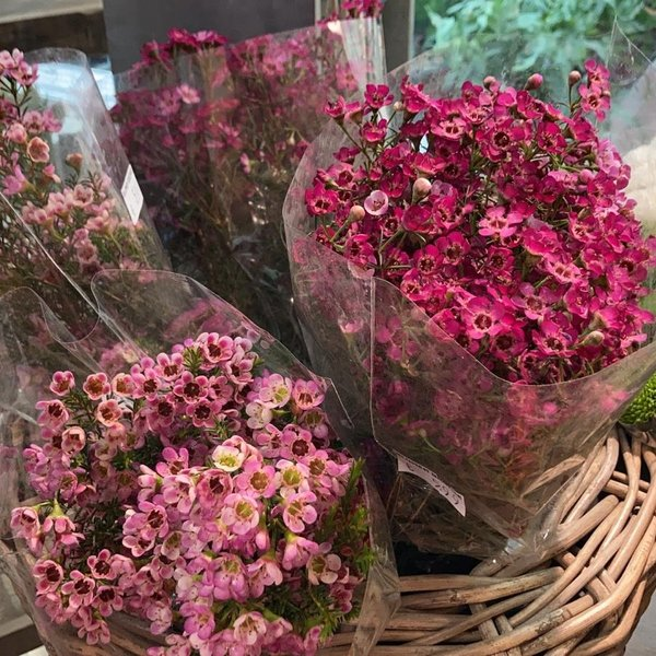 Waxflower Bund